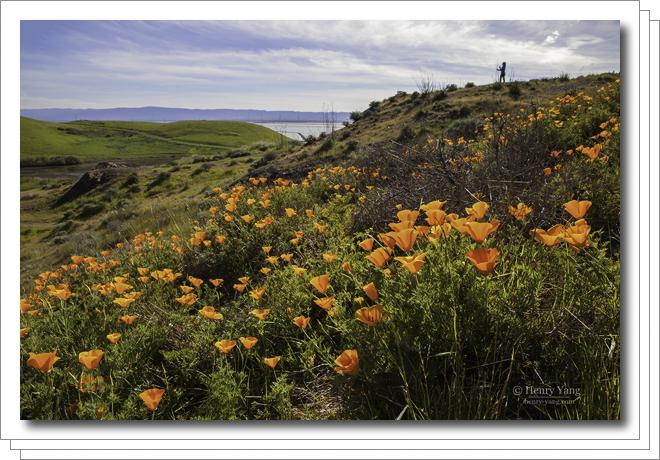 California Poppy, Coyote Hills Regional Park