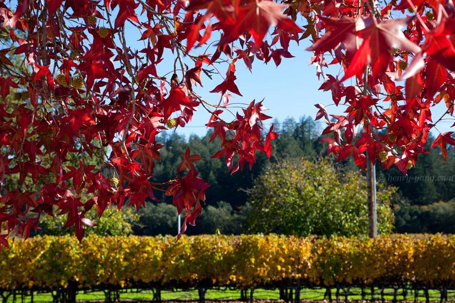 Napa Valley Fall Color, Napa, California, 11/2016