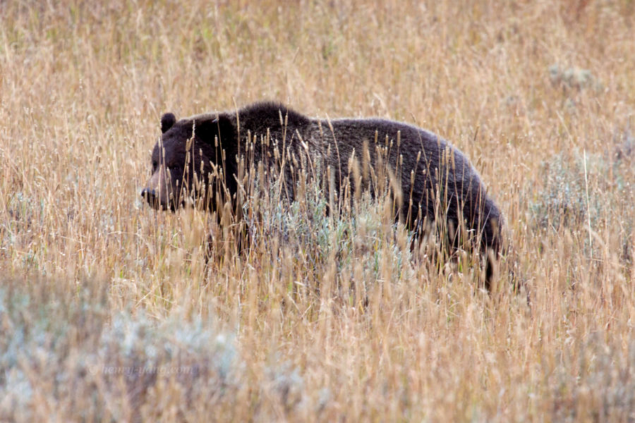 Bear, Yellowstone National Park, Wyoming, 9/2013