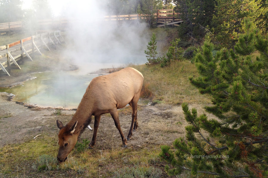 Deer, Yellowstone National Park, Wyoming, 9/2013