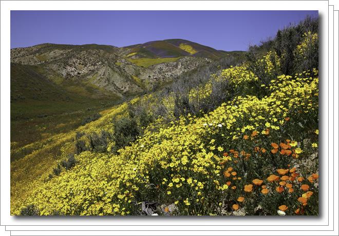 1704-carrizo-plain-wildflowers.png