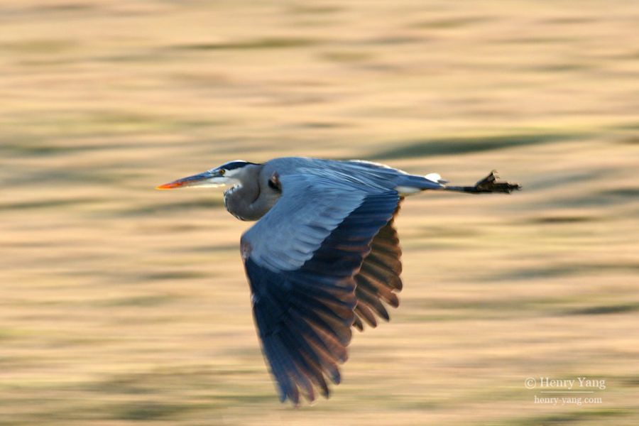 Great Blue Heron, Merced National Wildlife Refuge, California, 12/2008