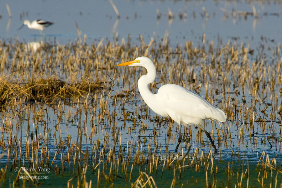 Great Egret, Merced National Wildlife Refuge, California, 12/2008