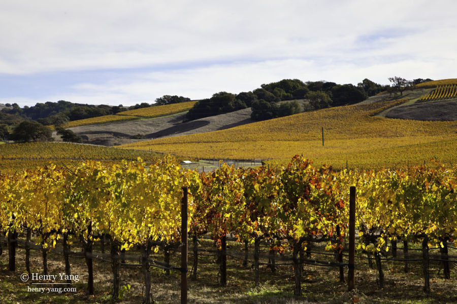 Napa Valley Fall Color, Napa, California, 11/2015